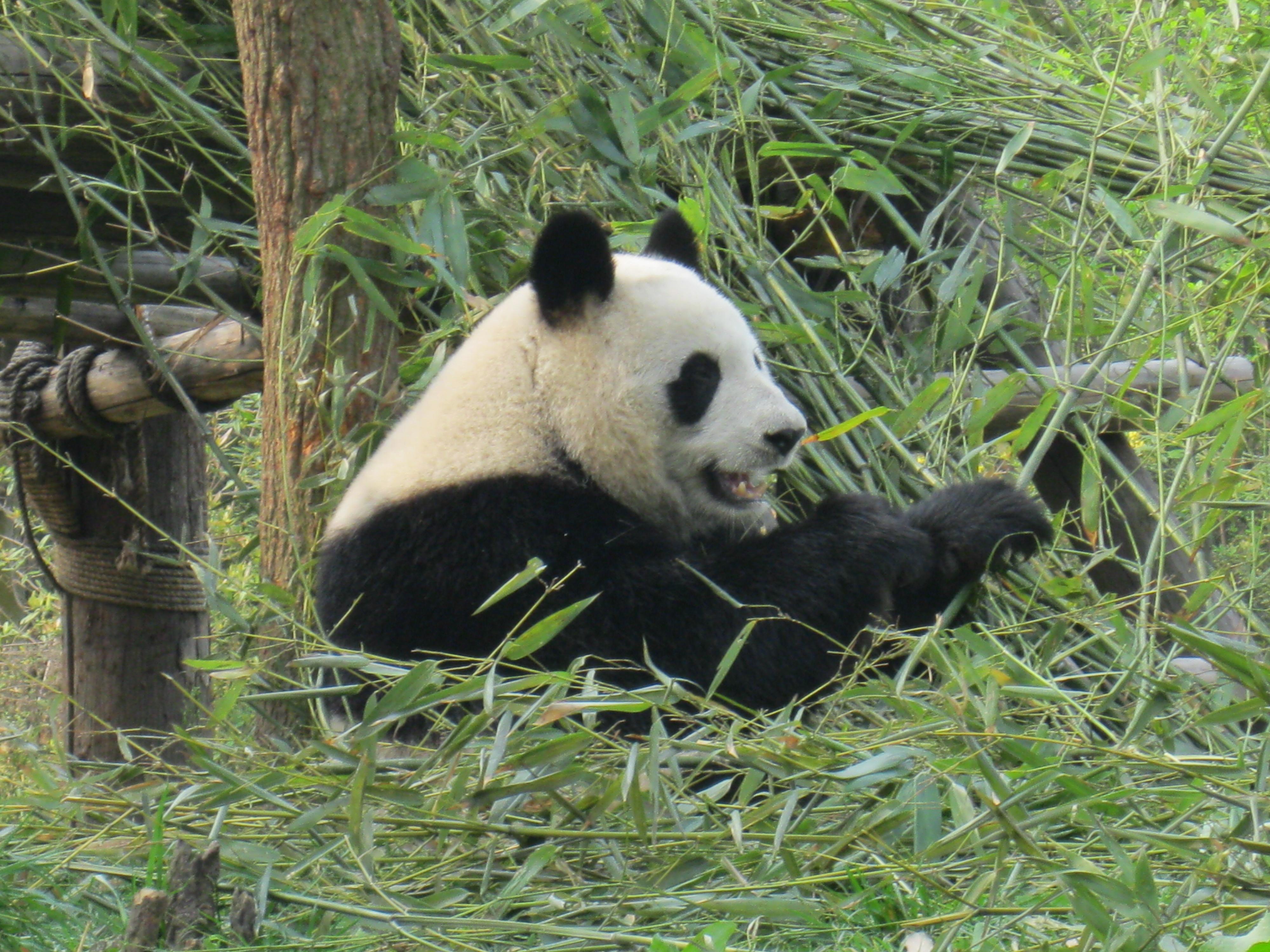 Panda Eating Bamboo ~ The chengdu panda center where is yvette